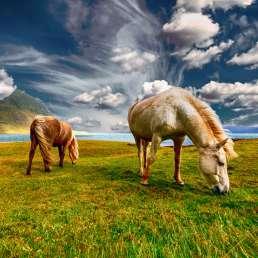 Island - weltberühmt für seine Ponys